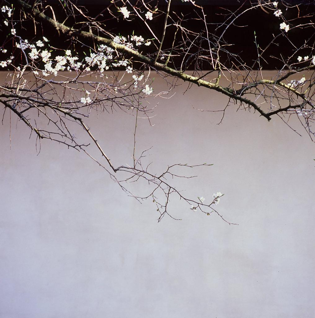 sakura003-1500.jpg